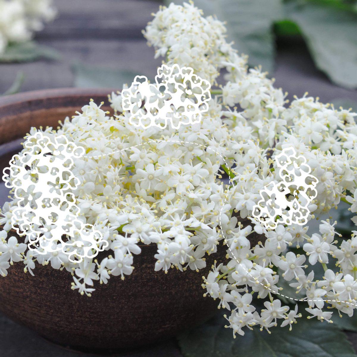 kwiaty czarnego bzu w dużej misce