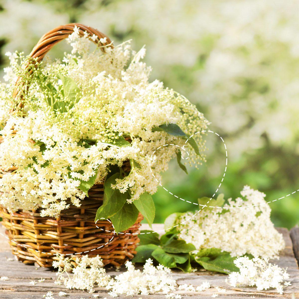 koszyk z kwiatami czarnego bzu